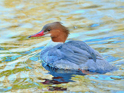 Poster featuring the photograph Common Merganser by Kathy King