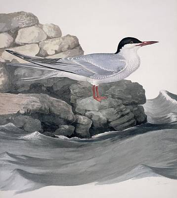 Common Tern, 19th Century Artwork Poster