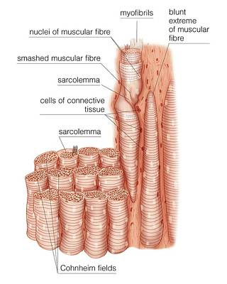 Composition Of Skeletal Muscle Fibres Poster