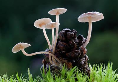 Conifer Cone Cap Fungus Poster by Nigel Downer