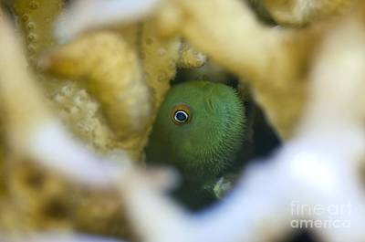 Coral Goby Hiding Inside Hard Coral Poster by Matthew Oldfield