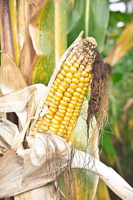 Corn Poster by Tom Gowanlock