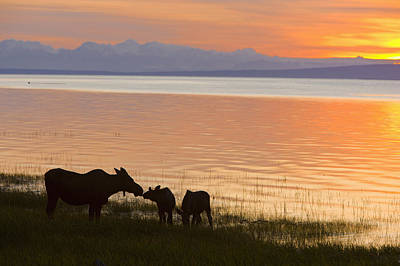 Cow And Two Calf Moose Feeding Along Poster