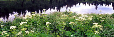 Cow Parsnip Heracleum Maximum Flowers Poster by Panoramic Images