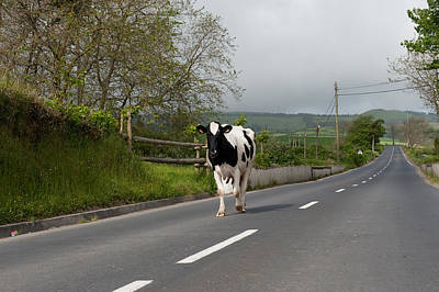 Cow Walks Along Country Road Poster
