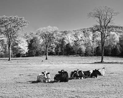 Cows Resting On Grass In Farm Field Autumn Maine Photograph Poster by Keith Webber Jr