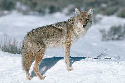 Coyote Poster by Art Wolfe
