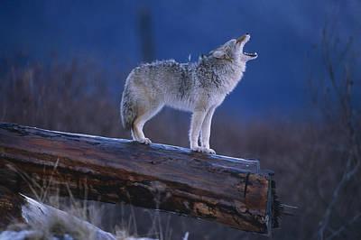 Coyote Standing On Log Alaska Wildlife Poster by Doug Lindstrand