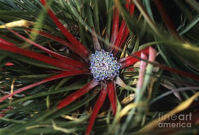 Crimson Bromeliad Fasicularia Bicolor Poster by Adrian Thomas