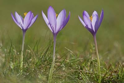 Crocus (crocus Nudiflorus) Flower Poster by Bob Gibbons