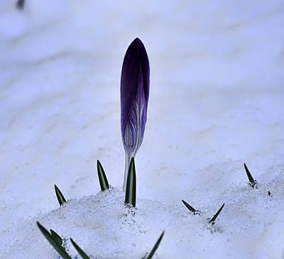 Crocus In Snow Poster