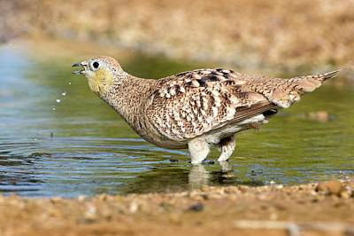 Crowned Sandgrouse Pterocles Coronatus Poster by Photostock-israel