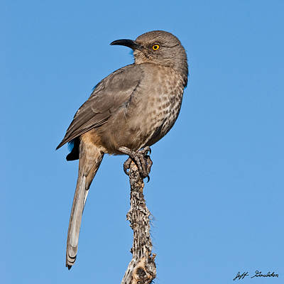 Curve-billed Thrasher Poster