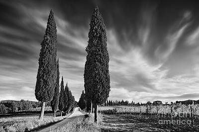 Cypress Trees- Tuscany Poster by Rod McLean