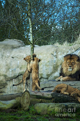 Dad And Lion Cubs Poster by Mandy Judson