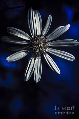 Dark Blue Daisy Blossoming In A Romantic Twilight  Poster by Jorgo Photography - Wall Art Gallery