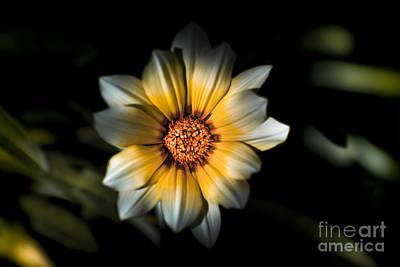 Dark Daisy Flower Poster