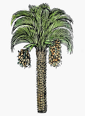 Date Palm, 1579 Poster