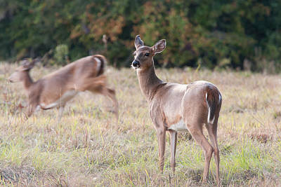 Deer At Paynes Prairie Poster