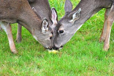 Deer Triplets Poster by Jeri lyn Chevalier