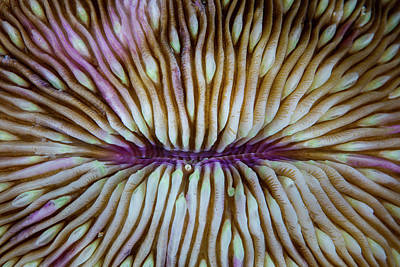 Detail Of A Mushroom Coral Fungia Sp Poster