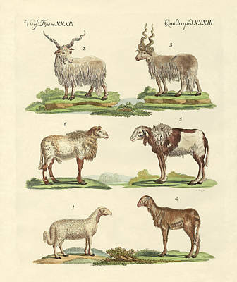 Different Kinds Of Sheep Poster by Splendid Art Prints