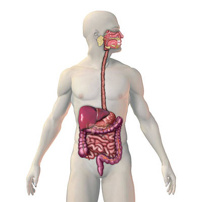 Digestive System Poster by Carol & Mike Werner