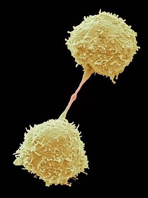 Dividing Lymphocytes Poster by Steve Gschmeissner