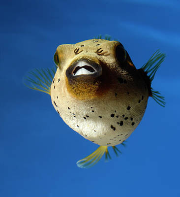 Dogface Pufferfish Poster by Nigel Downer