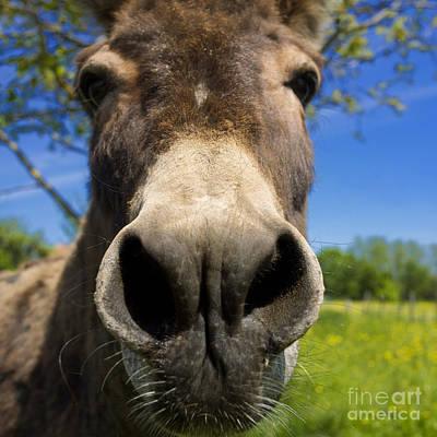 Donkey Poster by Bernard Jaubert