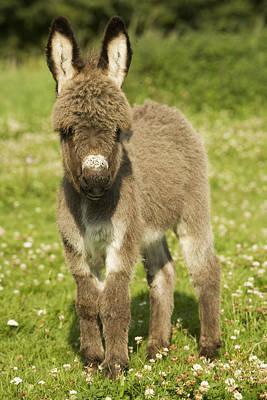 Donkey Foal Poster by Jean-Michel Labat