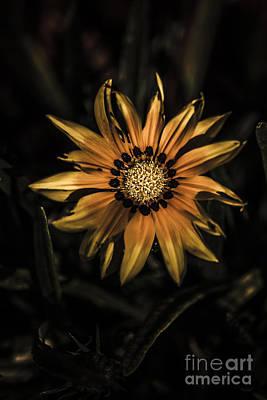 Dramatic Yellow Gazania Flower In Dark Shadows Poster