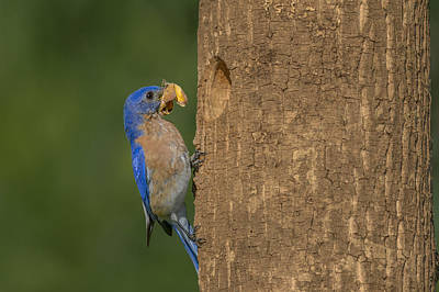 Eastern Bluebird  Poster by Susan Candelario