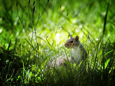 Poster featuring the photograph Eastern Gray Squirrel by Zoe Ferrie