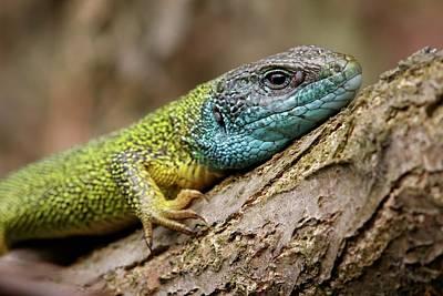 Eastern Green Lizard Poster