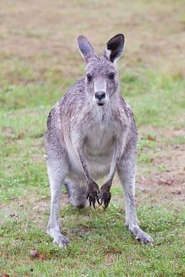 Eastern Grey Kangaroos Grazing Poster by Ashley Cooper