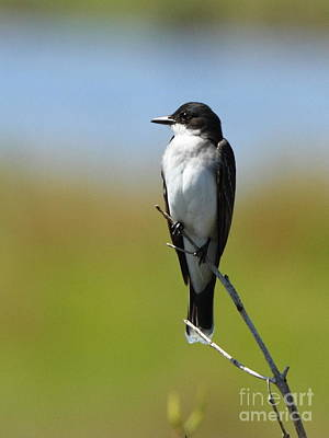 Eastern Kingbird Poster by Jennifer Zelik