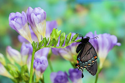 Eastern Tiger Swallowtail, Black Form Poster by Darrell Gulin