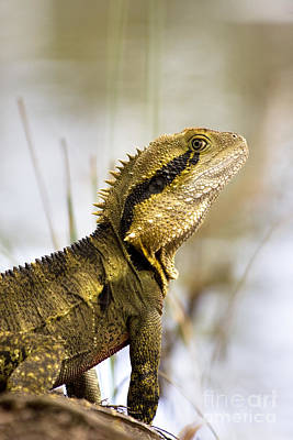 Eastern Water Dragon Poster by Jorgo Photography - Wall Art Gallery