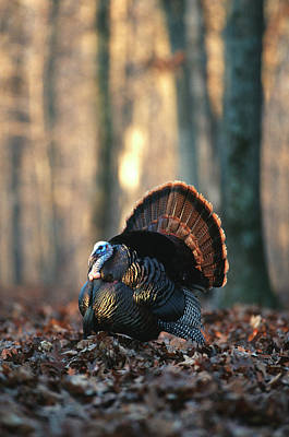 Eastern Wild Turkey (meleagris Poster