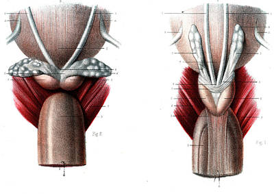 Ejaculatory System Poster