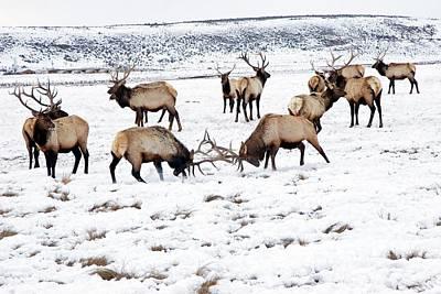 Elks In Winter Poster