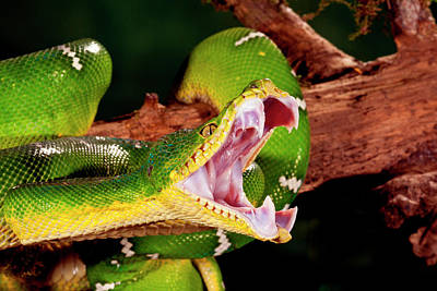 Emerald Tree Boa, Corallus Caninus Poster by David Northcott
