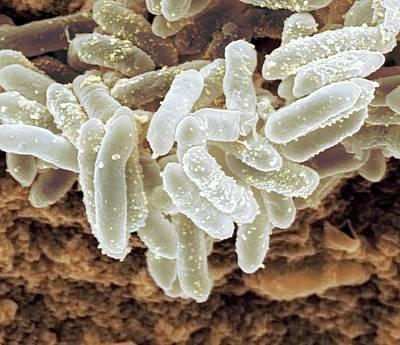 Erwinia Bacteria Poster