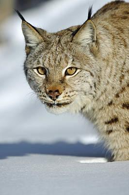 Eurasian Lynx In Snow Poster by Willi Rolfes