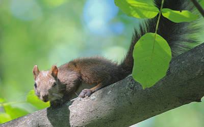 Poster featuring the photograph Euroasian Red Squirrel - Sciurus Vulgaris by Jivko Nakev