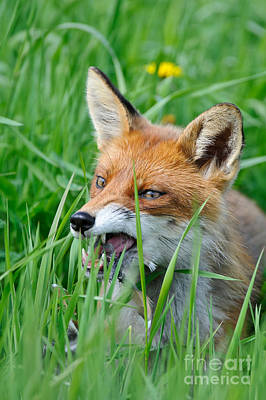 European Fox Eating Bird Poster by Willi Rolfes