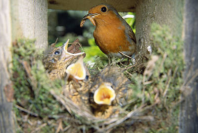 European Robin And Chicks Poster