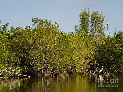 Everglades  Egrets Poster by Tracy Knauer
