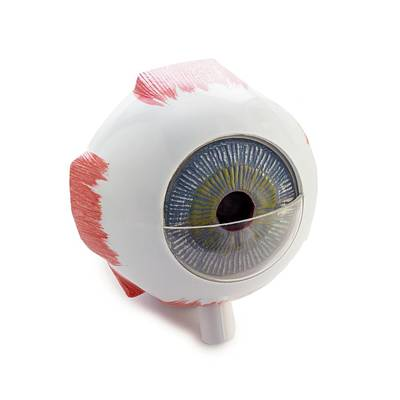 Eye Anatomy Model Poster by Science Photo Library
